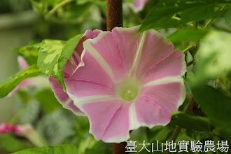 Photo: 拍攝地點: 春陽-可愛植物區 拍攝植物: 日本朝顏 富士之桃 拍攝日期:2013_07_24_FY