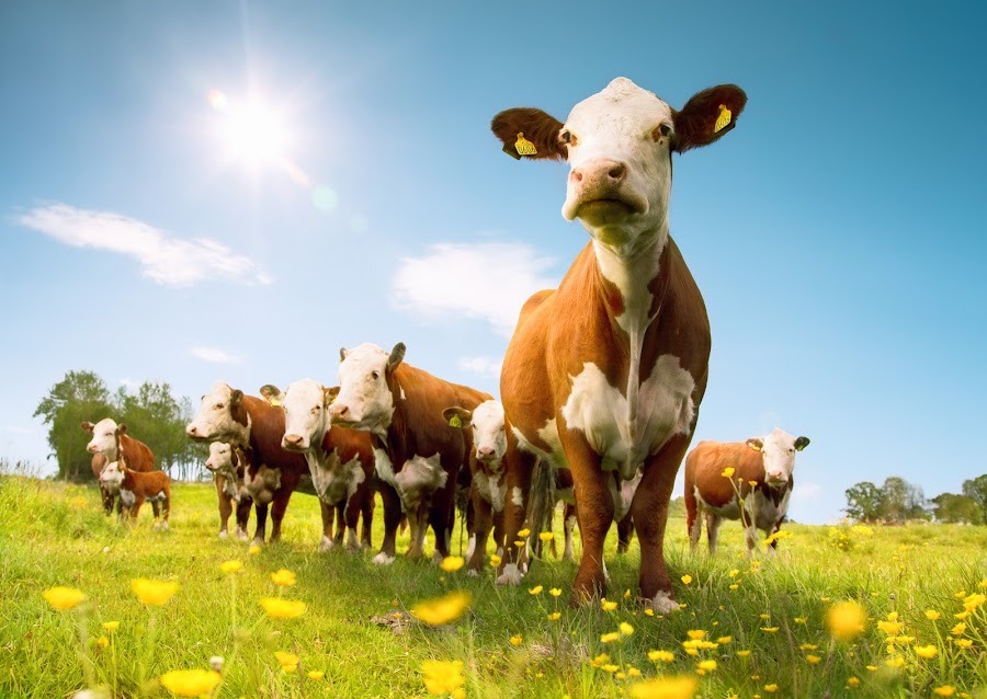 summertime by Geir Andersen - Animals Other Mammals ( kuer, steak, fredrikstad, hereford, sol, sommer, onsøy, cows )