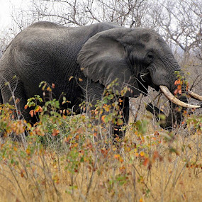 the old bull 2 by Ivor Evans - Animals Other Mammals ( old, elephant, safari, south africa, kruger,  )