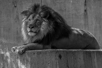 Photo: Concrete Jungle  P.S. I think he's declared himself king of #caturday .