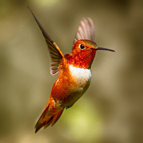Rufous Hummingbird by Sheldon Bilsker - Animals Birds ( bird, nature, hummingbird )