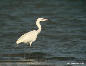 Photo: White phase Reddish Egret, Packery Channel, Mustang Island, Texas