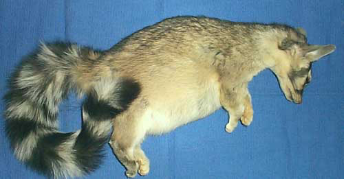 Bassariscus astutus, the North America Ringtail or Cacomistle with ascites under Telazol® sedation for radiology.