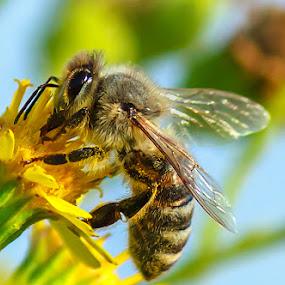 Bee on Flower by Dražen Škrinjarić - Animals Insects & Spiders ( macro, bee, meadow, colorul, flower )