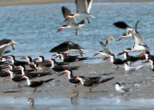 Photo: Black Skimmers and Terns on shoals - south side of Horse Island, south of Carrot Island