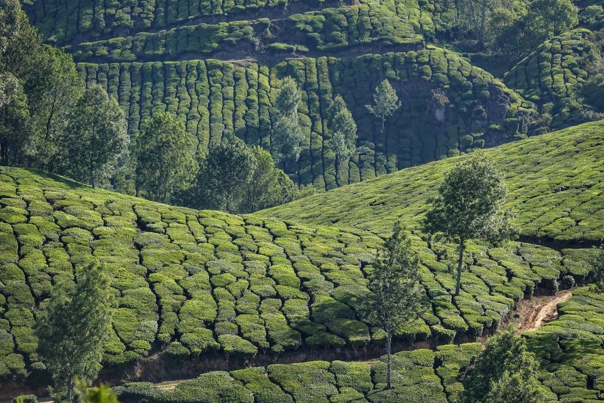 India. Kerala Motorbike Road Trip. Hills after hills of tea gardens around Munnar