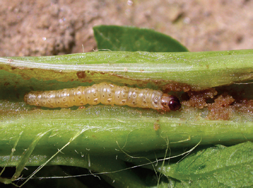 Have you ever heard of the European corn insect? They are most common if you're a corn grower.