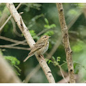 Oliveo backed Pipit 樹鷚