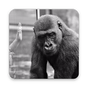 Gorilla Wallpaper Hd Android Apk Free Download Apkturbo