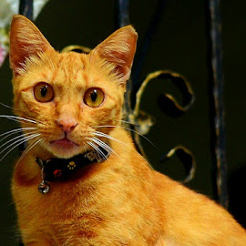 Golden Cat by Abdul Salim - Animals - Cats Portraits (  )
