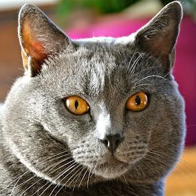 Huho de Ventadour by Serge Ostrogradsky - Animals - Cats Portraits (  )