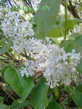 Photo: Oh the aroma is so sweet. I am grateful for these heritage Lilac bushes.. White and Lavender and Purple giving off scent in my yard. Deliscious.