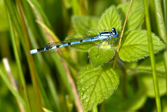 Photo: Agrion ou demoiselle.