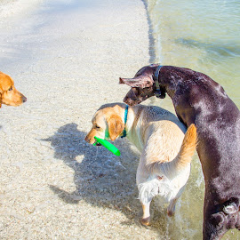 gimme! by Meaghan Browning - Animals - Dogs Playing