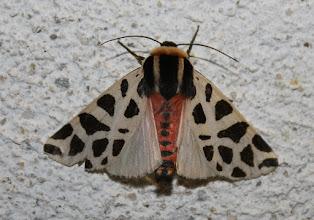 Photo: Cymbalophora pudica      Lepidoptera > Erebidae