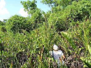 Photo: Large wetland on Crown land, NE of University College of the Cayman Islands. Swamp Fern, Giant Leather Fern - Acrostichum danaeifolium, POLYPODIACEAE  Aug. 8, 2007
