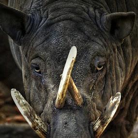 Babyrousinae by Frans Priyo - Animals Other Mammals ( wild animal, indonesia, wildlife, forest, mammal, pig, animal )