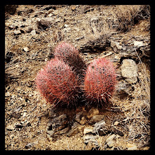 Photo: Echinocactus polycephalus