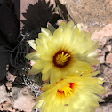 Miniature barrel cactus