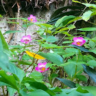 Impatiens cardiophylla