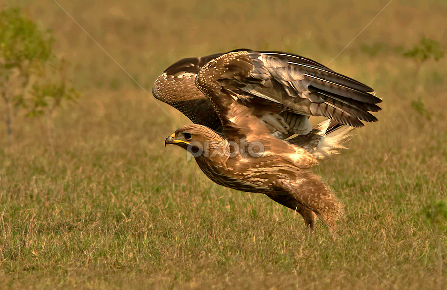 INDIAN SPOTTED EAGLE by Subramanniyan Mani - Animals Birds