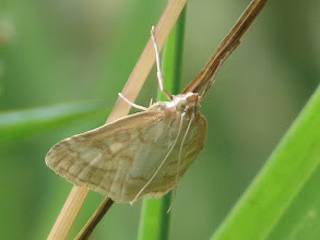 Photo: 24 Jul 13 Priorslee Lake: A much better shot of a Pale Straw Pearl moth (Udea lutealis) than I took earlier when the delicate marks were rather blown out. (Ed Wilson)