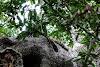 Sri. Lanka Wilpattu National Park . Third Sri Lankan Leopard