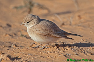Photo: Allodola del deserto minore | Ammomanes cincturus | Bar-tailed Lark