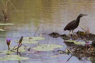 Photo: A rufous-bellied heron; Uma garça-de-barriga-vermelha.