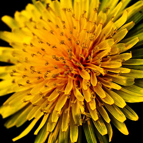 Dandelion by Vamsi Korabathina - Nature Up Close Flowers - 2011-2013 ( macro, nature, dandelion, curls, yellow, flower )