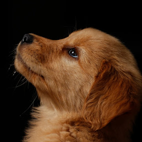 looking for my owner by Cristobal Garciaferro Rubio - Animals - Dogs Portraits ( pet, puppie, dog, golden retriever, pwc84 )