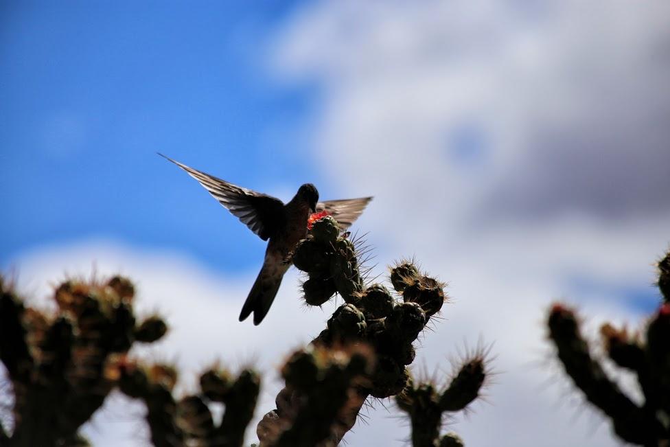 Kanion Colca, kaktus, koliber