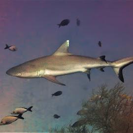 by Phil Bear - Animals Fish ( shark, reef, gray reef shark, coral, fish, coral reef, maldives )