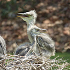 Grey Heron (chicks)
