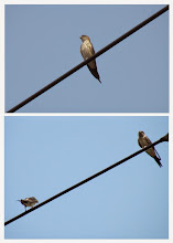 Photo: 撮影者:佐藤サヨ子 コシアカツバメ タイトル:青空の中で 観察年月日:2014年7月25日 羽数:5羽 場所:高幡台団地 区分:行動 メッシュ:武蔵府中3H コメント:裏山からの帰り遠周りをして団地の中を歩いていると電線にツバメらしい姿を見つけ双眼鏡で確認するとコシアカツバメの幼鳥でした。すると何処からともなく4、5羽の成鳥が現れてその中の2羽が電線に止まりましたがすぐまた全員で何処かへ飛んでしまいました。