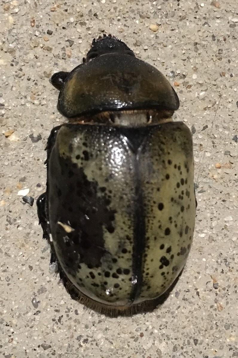 Eastern Hercules Beetle female