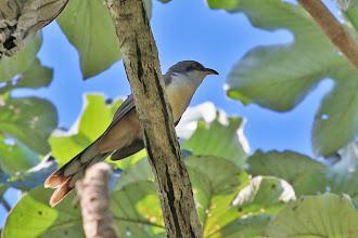 Photo: Mangrove Cuckoo