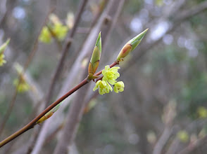 Photo: シロモジの花(クスノキ科)。 2007.4.26 岩岳にて