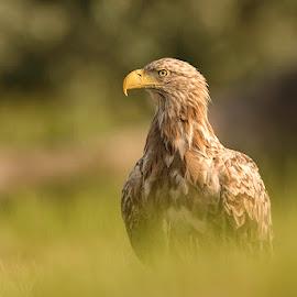 The King of Europe by Alek Arabadjian - Animals Birds ( white-tailed eagle, haliaeetus albicilla, wilderness, bird of prey, орлан белохвост, wildlife, sea eagle, raptor, sunrise )