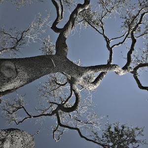 galveston oak.jpg