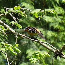 Photo: The Black-headed Grosbeak's song is very similar to the Robin but sweeter:  http://www.allaboutbirds.org/guide/black-headed_grosbeak/id