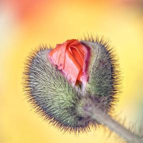 Flower 608 by Raphael RaCcoon - Flowers Flower Buds