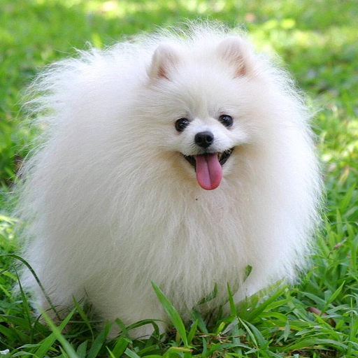 Pomeranian Wallpapers Apps On Google Play