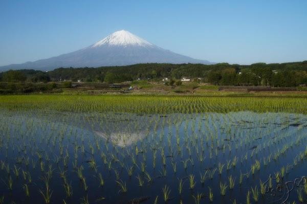 Cooking Rice Mt. Fuji Way Recipe