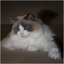 My love... by Miranda Luyckx - Animals - Cats Portraits ( mozart, ragdoll, cats, lovely, blue eyes )