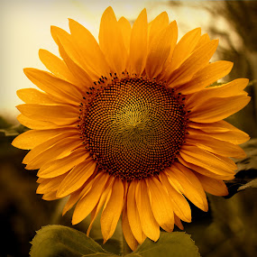 Golden Angle by Stephanie Munguia-Wharry - Novices Only Flowers & Plants ( sunflower, golden angle )