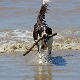 by Ingrid Anderson-Riley - Animals - Dogs Playing (  )