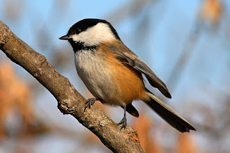 Photo: #BirdPoker Branch curated by +Phil Armishaw  A closeup of a Black-capped Chickadee preparing for liftoff.