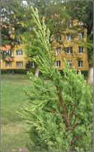 Photo: Ienupăr (Juniperus communis), recent plantat in Turda,  Calea Victoriei, parcul din Micro 1 - 2019.07.15
