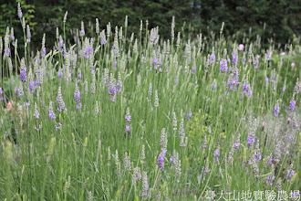 Photo: 拍攝地點: 梅峰-溫帶花卉區 拍攝植物: 薰衣草 拍攝日期: 2015_06_09_FY